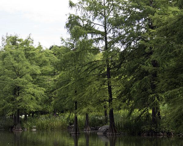 Swamp Cypresses